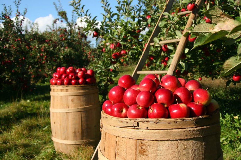 Alimentos de temporada, manzanas.