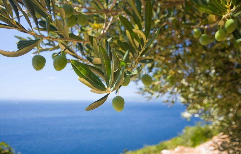 aceituna mediterranea
